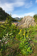 Mountain Arnica (Arnica montana) and Alpine Aster (Aster alpinus) blooming along the Bagley Lakes Trail in the Mount Baker-Snoqualmie National Forest, Washington State, USA