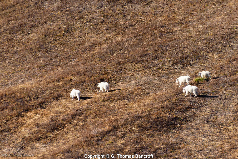 Five mountain goats moved across Van Trump Park on the Southwest side of Mt. Rainier on this late October day.