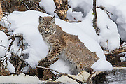 Bobcat during winter hunting waterfowl in Yellowstone National Park