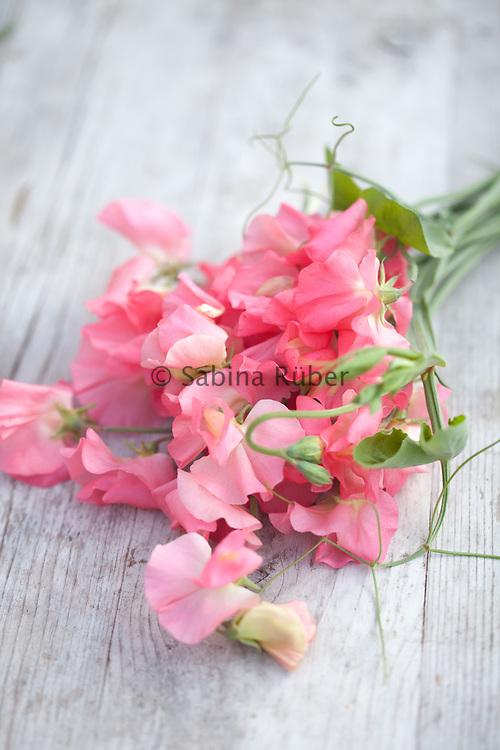 Lathyrus odoratus 'Valerie Harrod' - sweet pea
