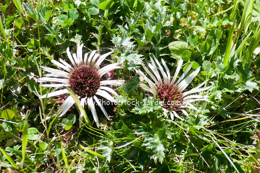 Stemless carline thistle (Carlina acaulis), (AKA dwarf carline thistle or silver thistle). This plant can be used to help forecast the weather. The dried flowers respond to the amount of humidity in the air and can be used as hygrometers. The flower closes at the approach of rain. Photographed in Tirol, Austria, in August