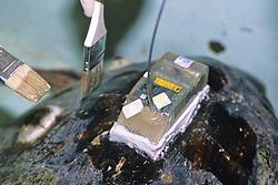 Putting Satellite Tag On Loggerhead