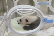SHANGHAI, CHINA - AUGUST 09: A panda cub is seen at a wildlife park on August 9, 2016 in Shanghai, China. Born at the Shanghai Base of the China Giant Panda Protection and Research Center with full body length of 14.3 centimeters and body weight of 151 grams, the first panda cub born in Shanghai welcame its full month, growing up to 38 centimeters and 1,497 grams.<br /> ©Exclusivepix Media