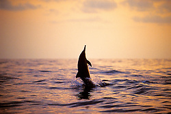 Long-snouted Spinner Dolphin at sunset, Stenella longirostris, Kona, Big Island, Hawaii, Pacific Ocean