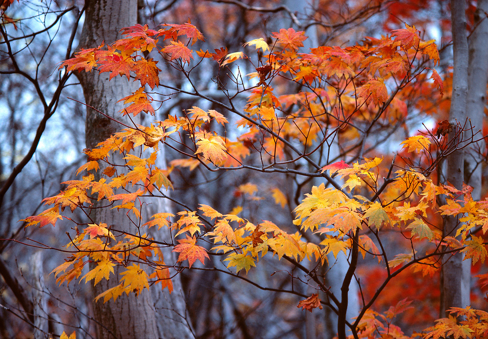 Backlighting intensifies the colors in these orange maple leaves in Nikko National Park in Japan. ©Ric Ergenbright