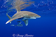 oceanic whitetip shark, Carcharhinus longimanus, with pilot fish, Naucrates ductor, Kona Coast, Hawaii Island ( the Big Island ) Hawaiian Islands ( Central Pacific Ocean )