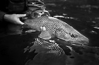 Fat Dog River brown trout in full spawning glory, Vermont
