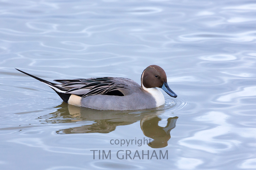 Male Pintail duck - Anas acuta - on the lake at Slimbridge Wildfowl and Wetlands Centre, England, UK