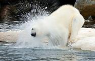 Polar Bear (Ursus maritimus), bathing, Svalbard, Norway