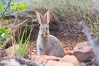 The desert cottontail (Audubon's cottontail) is a common rabbit native to the American Southwest, very similar to other cottontails around the world, but adapted to live in arid, desert-like environments. It gets all of its water from the grasses, cacti and other forbs. It is also a very important food source for the many carnivores of the desert including golden and bald eagles, great horned owls, ferruginous hawks, badgers, coyotes, foxes, bobcats and humans. This one was photographed early on a summer evening in the Moab Desert in Eastern Utah.
