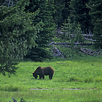 YELLOWSTONE NATIONAL PARK, WYOMING.  Grizzly bear in meadow at West Thumb, by Yellowstone Lake.