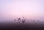 A foggy morning in the Big Cypress National Preserve near the Gator Hook Strand off of Loop Road near Ochopee, Florida