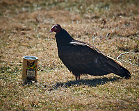 Turkey Vulture Morning Coffee Break. Image taken with a Nikon D5 camera and 600 mm f/4 VR lens (ISO 180, 600 mm, f/5.6, 1/640 sec).