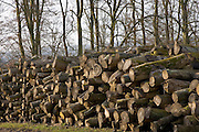 Pile of beech wood logs being seasoned , Gloucestershire, United Kingdom.