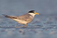 Least Tern - Sternula antillarum - breeding adult