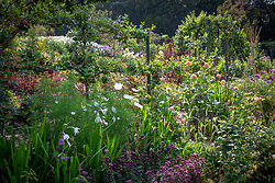 Bed in the cutting garden at Chatsworth House. Cosmos, dahlias, Acidanthera bicolor 'Murielae' syn. Gladiolus 'Murielae' and Origanum laevigatum 'Herrenhausen' in the foreground with apples trained along wires and pear arch in the background.