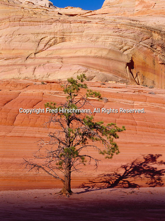Lone Ponderosa Pine and Navajo Sandstone, Vermilion Cliffs National Monument, Paria-Vermilion Cliffs Wilderness, Arizona.