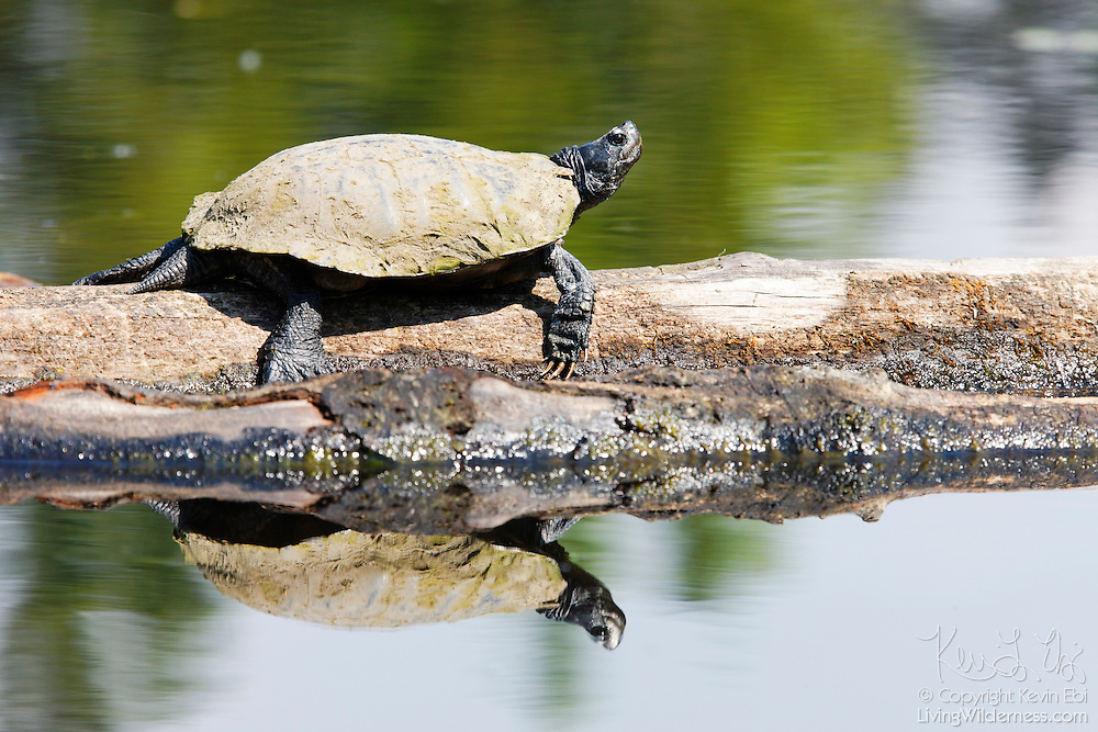 A painted turtle (Chrysemys picta) suns itself on a log off Foster Island in Seattle's Washington Park Arboretum.