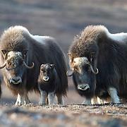 A herd of Muskox with new calves. Alaska