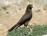 Eleonora's Falcon, Dark Phase - Falco eleonorae