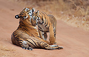 """Female tiger """"Maya"""" and one of her cubs in Tadoba NP, February 2016."""
