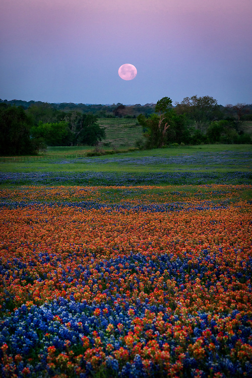 Spring moonset over a field of Indian paintbrush and bluebonnets, Whitehall, Texas