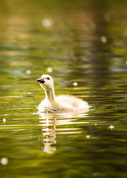 This little gosling seems to have gone astray from his mommy