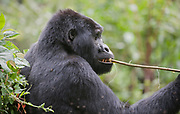 Mountain Gorilla (Gorilla berengei berengei) feeding on liana in Bwindi Impenetrable National Park, Uganda.