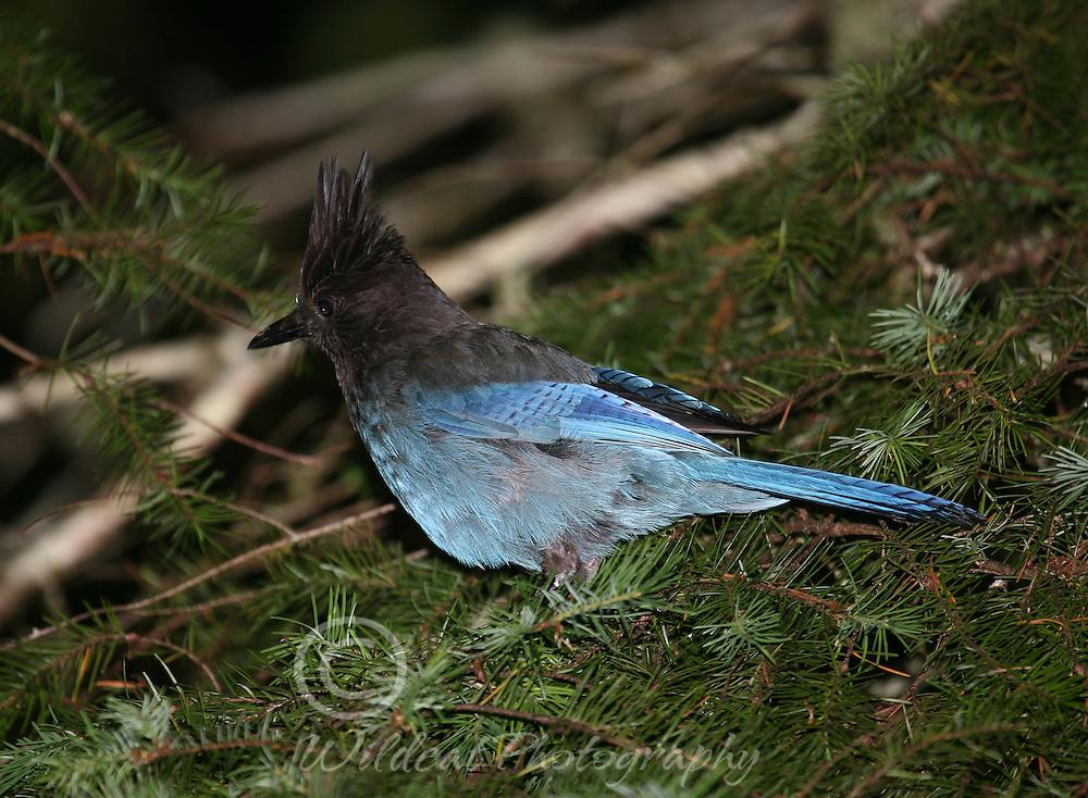 Stellers Jay in Douglas fir.