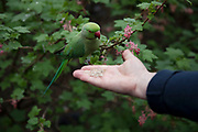 Tourists feeding the green parakeets in St Jamess Park in London, United Kingdom. Feral parakeets in Great Britain are an introduced species into Great Britain. The population consists of rose-ringed parakeets, a non-migratory species of bird that is native to Africa and the Indian Subcontinent. The origins of these birds are subject to speculation, but they are generally thought to have bred from birds that escaped from captivity.