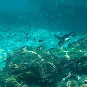 Galapagos Penguin (Sphenisucs mendiculus) swimming in the ocean with a school of fish.  Galapagos, Ecuador.