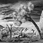 Leaning To The West - Joshua Tree National Park CA - Infrared Black & White