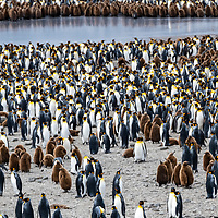 Thousands of adult king penguins and their chicks (oakum boys) in a massive breeding colony at Saint Andrews Bay on the north coast of South Georgia Island.