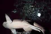 male sand tiger ( gray nurse ) shark, Carcharias taurus,<br /> showing pelvic claspers, Australia