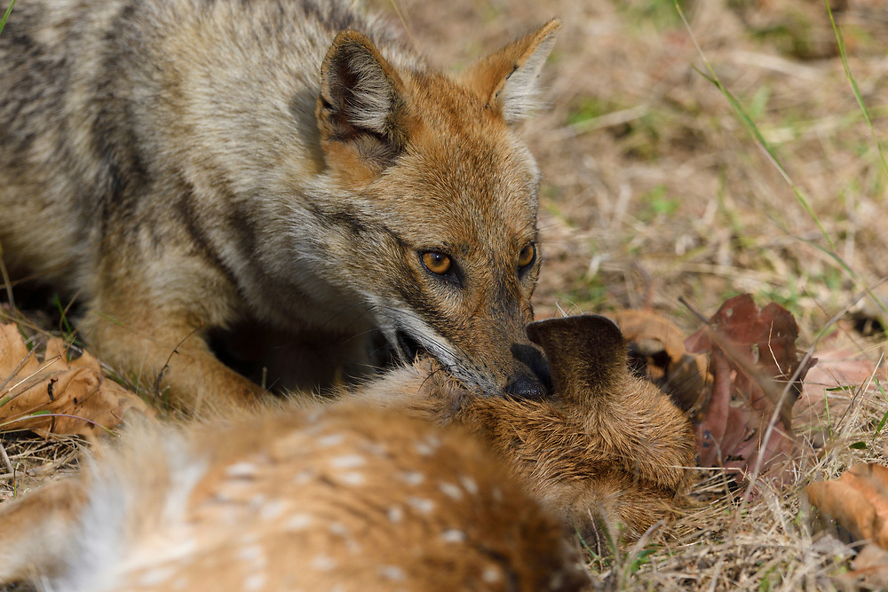 Golden jackal, Canis aureus, with its kill, a Spotted deer or Chital fawn, in Kanha National Park and Tiger Reserve, Madhya Pradesh, India