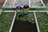 2014-12: Fairtrade Bananas, Dominican Republic