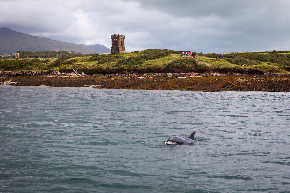 Dolphin watching for Fungie, the Dingle Dolphin, in Dingle, Ireland. Fungi, who has been visiting Dingle Bay since 1983, is the reportedly longest living solitary dolphin known in the world