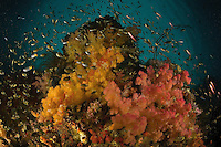 Rich soft coral and sea fan covered reefs team with fish life..Misool Island vicinity, near the smaller island of Wagmab.