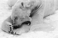 Schweden, SWE, Kolmarden, 2000: Ein im Schnee liegender Eisbaer (Ursus maritimus) beisst sich in seine linke Vorderpranke, Kolmardens Djurpark. | Sweden, SWE, Kolmarden, 2000: Polar bear, Ursus maritimus, laying on snow, biting it's own front paw, Kolmardens Djurpark. |