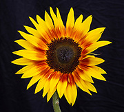 A Sunflower seen in visible light. This image is part of a series showing the same flower in ultraviolet (UV) radiation.