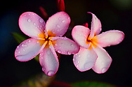 Close-up of drops of dew on the petals of pink frangipani (plumeria) flowers in a botanical garden in Golfo Dulce, Costa Rica.