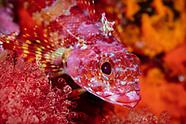 Karalepis stewarti (Scaly-headed triplefin)