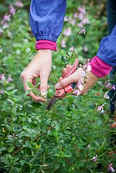 Taking salvia cuttings