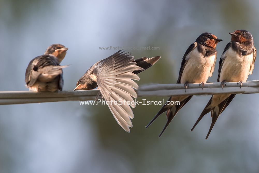 Barn swallows (Hirundo rustica) perched on a wire. Swallows are seasonal visitors to the northern hemisphere, migrating long distances south in the winter. They breed in North America and Eurasia, building a mud bowl nest on the wall or roof of a building or inside caves. Swallows inhabit open country near water and are strong and accomplished fliers, spending much of their time airborne, feeding on flying insects. Photographed in Israel in June