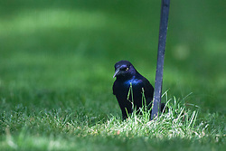 11 May 2012:   Grackle on or near a backyard bird feeder