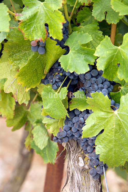 grapes for wine in August Languedoc France