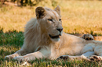 Female white lion, Lion Park, Johannesburg, South Africa. The white lion is a rare color mutation of the Timbavati region of South Africa.