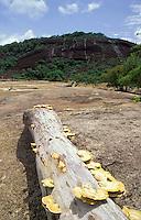 Tronco de arbol con hongos pegados en la corteza a orillas del río Orinoco, Amazonas, Venezuela.