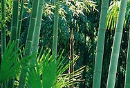 France,Languedoc Roussillon, Gard, Cevennes, Anduze, bambouseraie de Prafrance,  les bambous géants