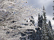 Snow blankets a fractal pattern of tree branches at Snoqualmie Pass, Washington, USA.